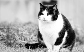 Обои взгляд, киска, кот, черно-белые, котэ
