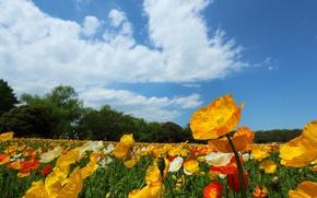 Картинка поле, небо, облака, деревья, цветы, маки, луг