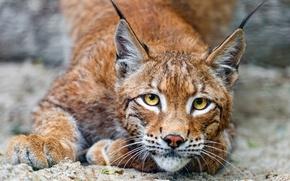 Картинка кошка, глаза, взгляд, хищник, желтые, рысь