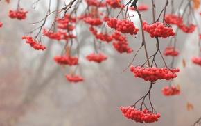 Обои красный, ветки, дерево, рябина