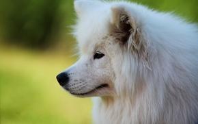 Картинка морда, портрет, собака, самоед