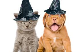 Картинка котенок, собака, шляпа, halloween, kitten, dog, Бордоский дог