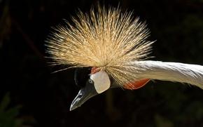 Картинка глаз, eye, neck, Африканский венценосный журавль, african crowned crane, шеи