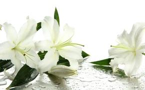 Обои вода, цветы, капельки, бутоны, листики, белые лилии