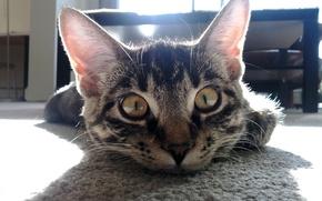 Обои комната, взгляд, усы, лучи, стол, пол, cat, тень, котэ, уши, котяра, глаза, прикольный, кот