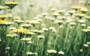 Картинка цветок, растение, солнцепоклонник, Sonnenanbeter