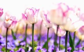 Картинка нежность, цветы, свет, растения, природа, фиолетовые, стебли, сиреневые, белые, поляна, тюльпаны, размытость, весна, розовые, бутоны