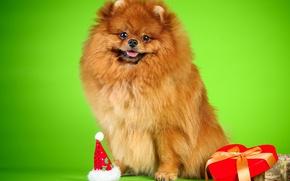 Картинка фон, коробка, собака, бусы, шпиц