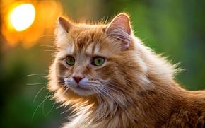 Картинка кошка, взгляд, морда, рыжий, пушистый, зелень, зеленые, глаза, кот