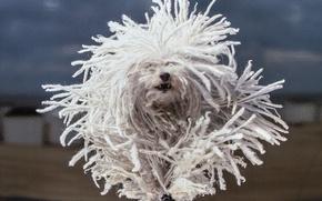 Картинка собака, бег, дреды, Гаванский бишон, лохматая