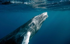 Картинка ocean, water, fish, whale, Dominican Republic, closer look, baby humpback whale