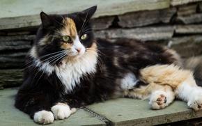 Картинка взгляд, отдых, Кошка, трехцветная