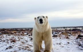 Картинка белый, природа, медведь