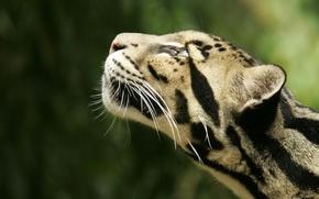 Обои леопард, Звери, голова, Дымчатый