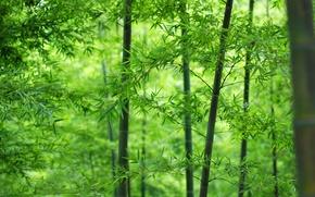 Картинка лес, листья, бамбук, ствол