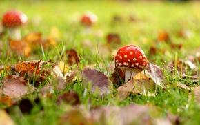 Картинка осень, трава, макро, листва, мухомор, грибочек