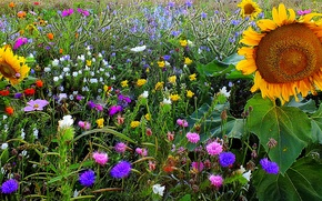 Картинка поле, трава, подсолнух, луг