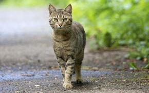 Картинка глаза, кот, полосатый, смотрит, зелёные, усатый, уставился