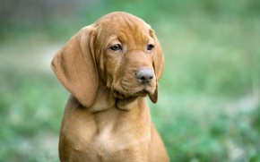 Картинка собака, щенок, венгерская выжла