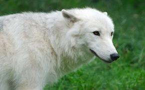 Картинка белый, трава, волк, Wolf, Arctic, арктический