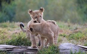 Картинка игра, пара, малыши, дикие кошки, львята, детеныши