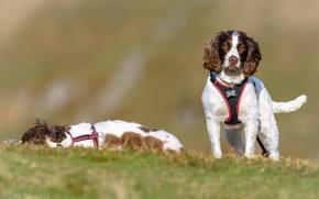 Картинка собаки, спаниель, Английский спрингер-спаниель