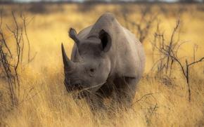 Картинка носорог, фон, природа