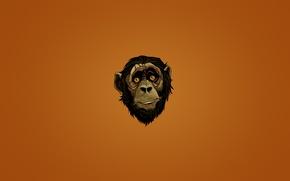 Картинка взгляд, морда, лицо, минимализм, голова, обезьяна, monkey, темноватый фон