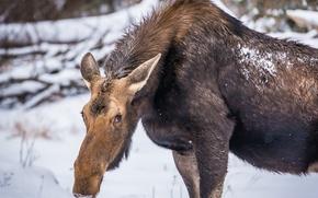 Картинка зима, природа, лось