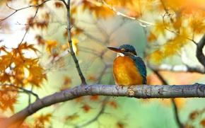 Картинка листья, дерево, птица, ветка, зимородок, осенние
