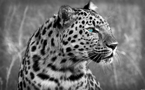 Картинка кошка, хищник, леопард, leopard, cat, 1920x1200, predator