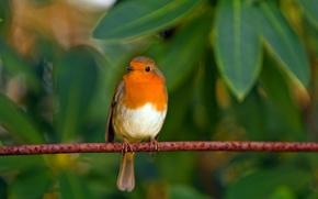 Картинка листья, птицы, природа, птица, малиновка
