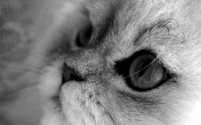 Обои кошка, макро, кот, черно-белый, серый фон