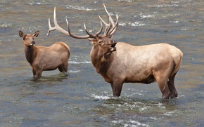 Картинка вода, олень, пара, рога