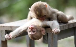 Картинка обезьяны, играют, мартышки