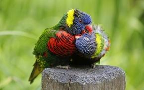 Картинка любовь, птицы, попугаи, парочка, Многоцветный лорикет