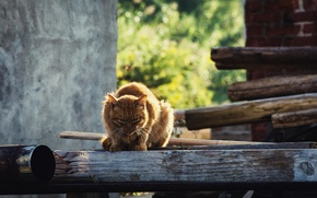 Картинка лето, кот, взгляд, рыжий, боке