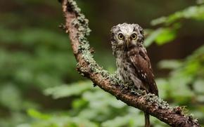Картинка зелень, лес, взгляд, природа, дерево, сова, ветка, bird, owl, сыч