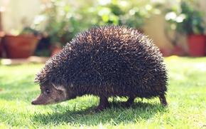 Картинка ежик, garden, animal, hedgehog, spines