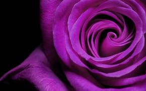 Картинка фиолетовый, роза, лепестки, бутон