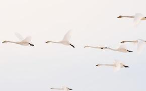 Картинка небо, птицы, полёт, лебеди