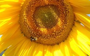 Картинка лето, небо, пчела, подсолнух