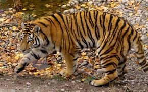 Обои осень, Amurshaya, амурский тигр