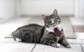 Картинка кот, галстук, смотрит, котэ