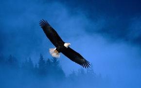 Картинка свобода, Eagle, Flight, полёт, Alaska, орёл