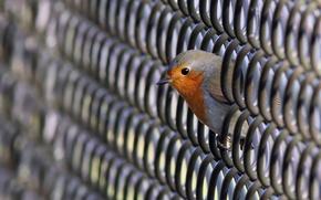 Картинка photo, animal, Bird, robin