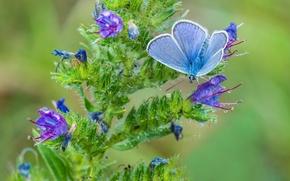 Обои бабочка, макро, голубянка, цветок