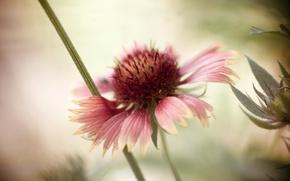 Картинка цветок, фон, лепестки, боке, Рудбекия