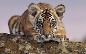 Обои животные, тигр, смотрит, тигренок