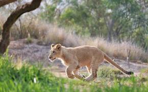Обои львенок, бег, детеныш, дикая кошка
